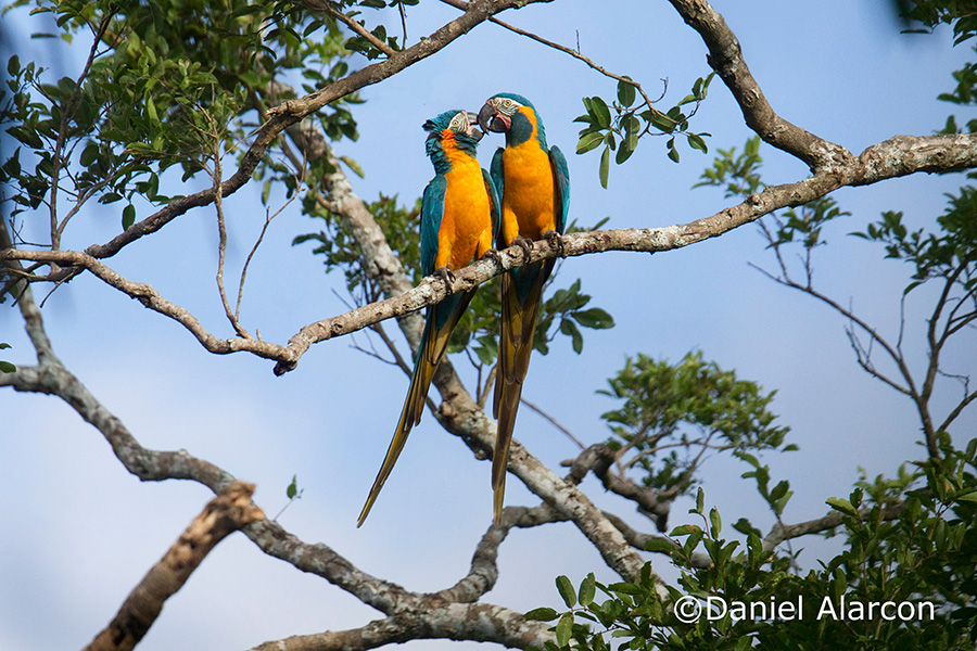 Conservation of the Bolivian Endemic Blue-throated Macaw and its co-existence with local livestock industry BirdLife International Tokyo